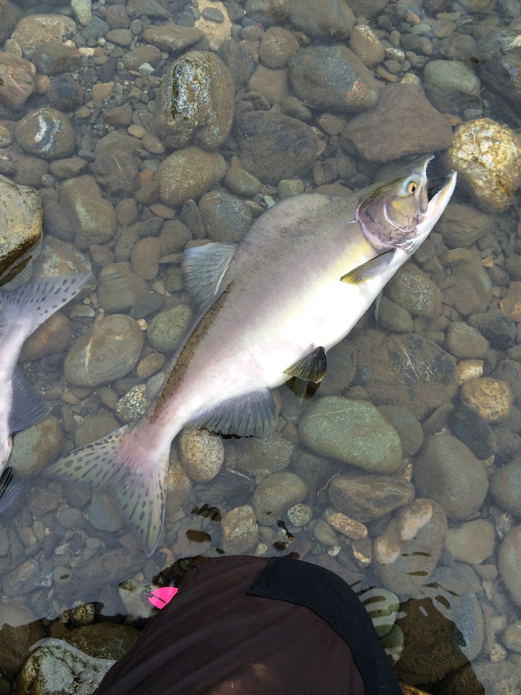 Chilliwack - Pink Salmon - 2015
