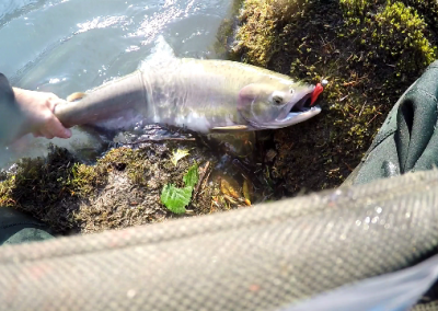Pink Salmon with Pink Jig