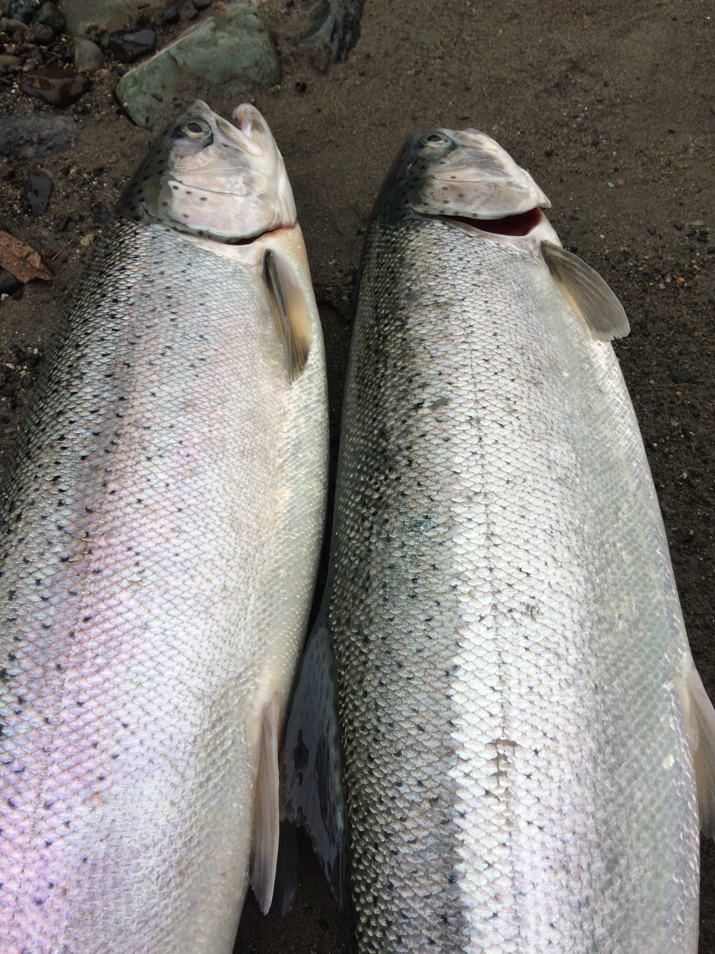 vedder-river-steelhead-doe-buck