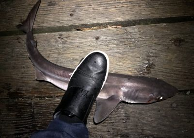 Spiny Dogfish Shark